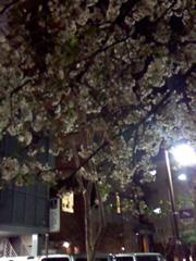 終了後の桜